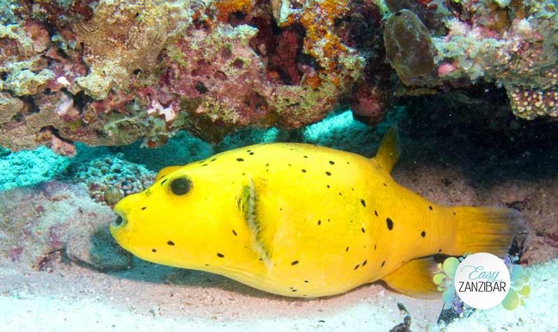 fare snorkeling a Zaznibar foto