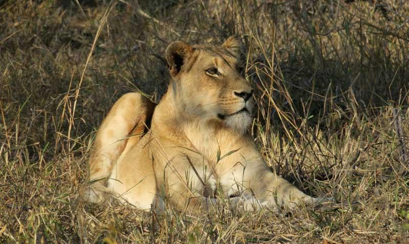 leonessa-safari