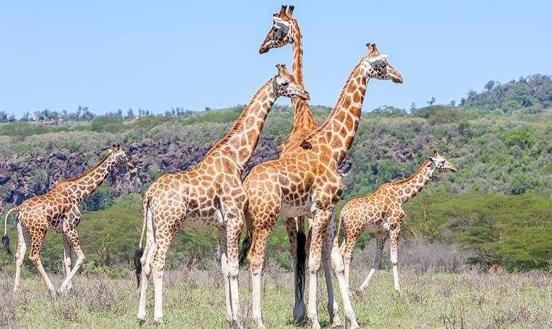 safari-zanzibar-giraffe
