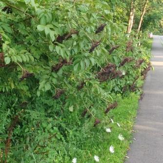 ... (eventually) turn into elderberries.