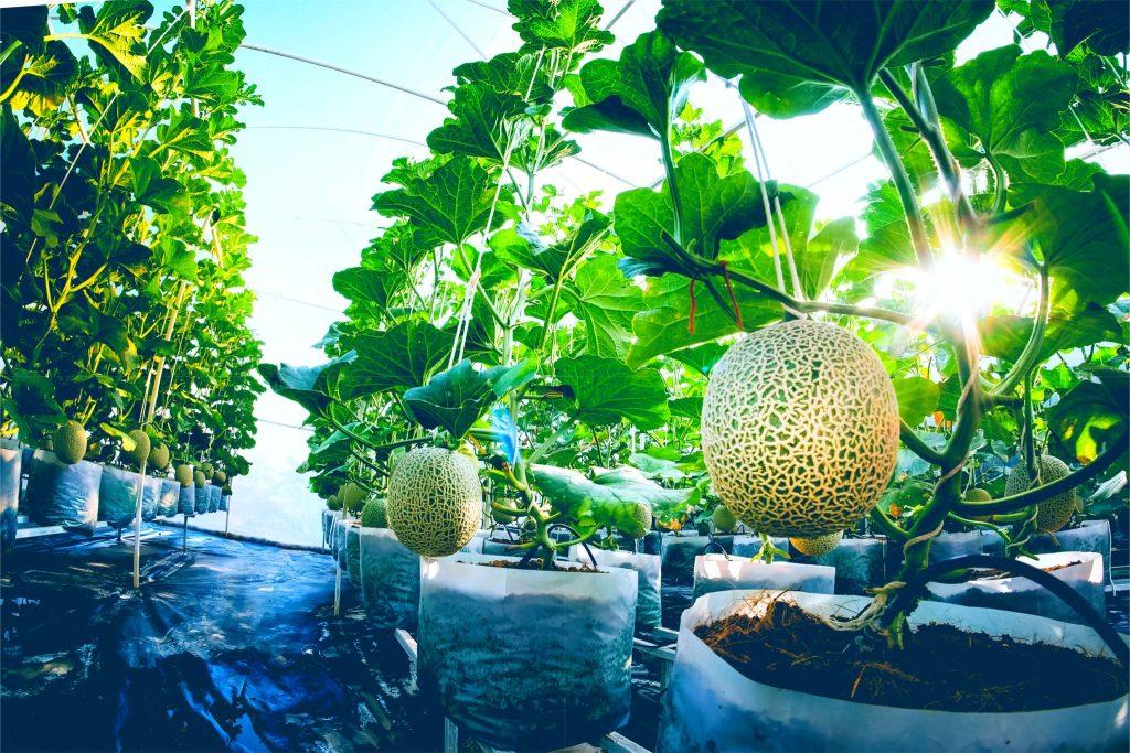 メロンのハウス栽培