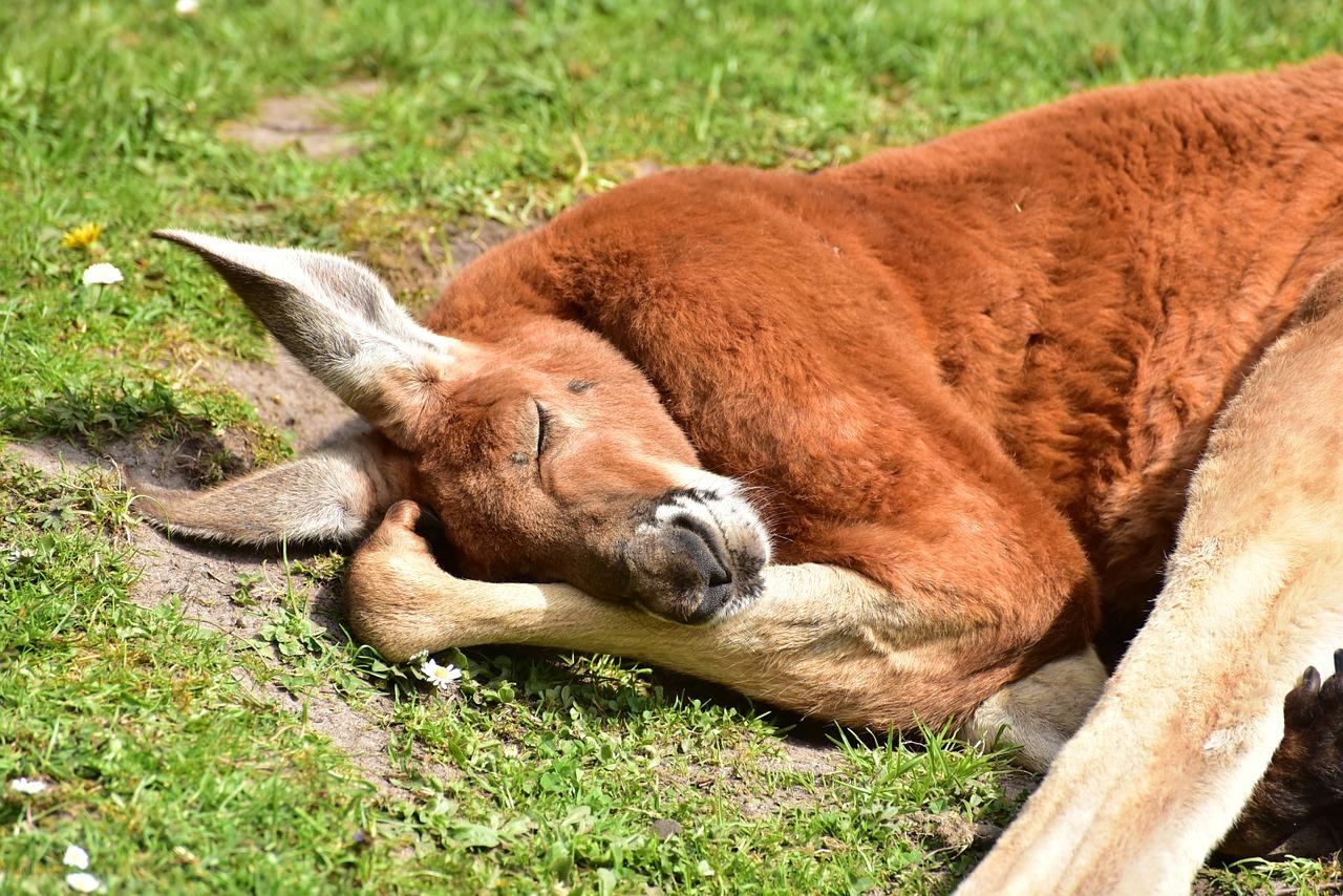 寝てるカンガルー