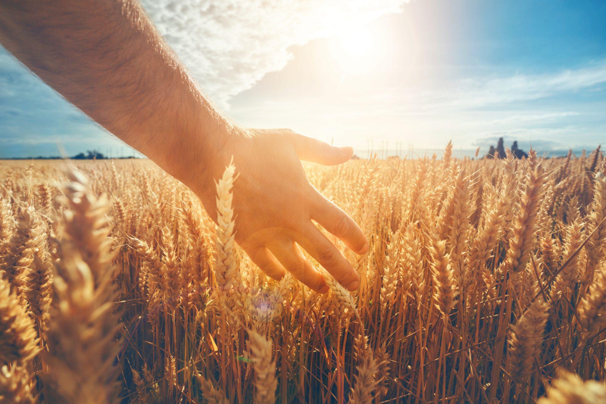 広大な小麦畑にいる男性