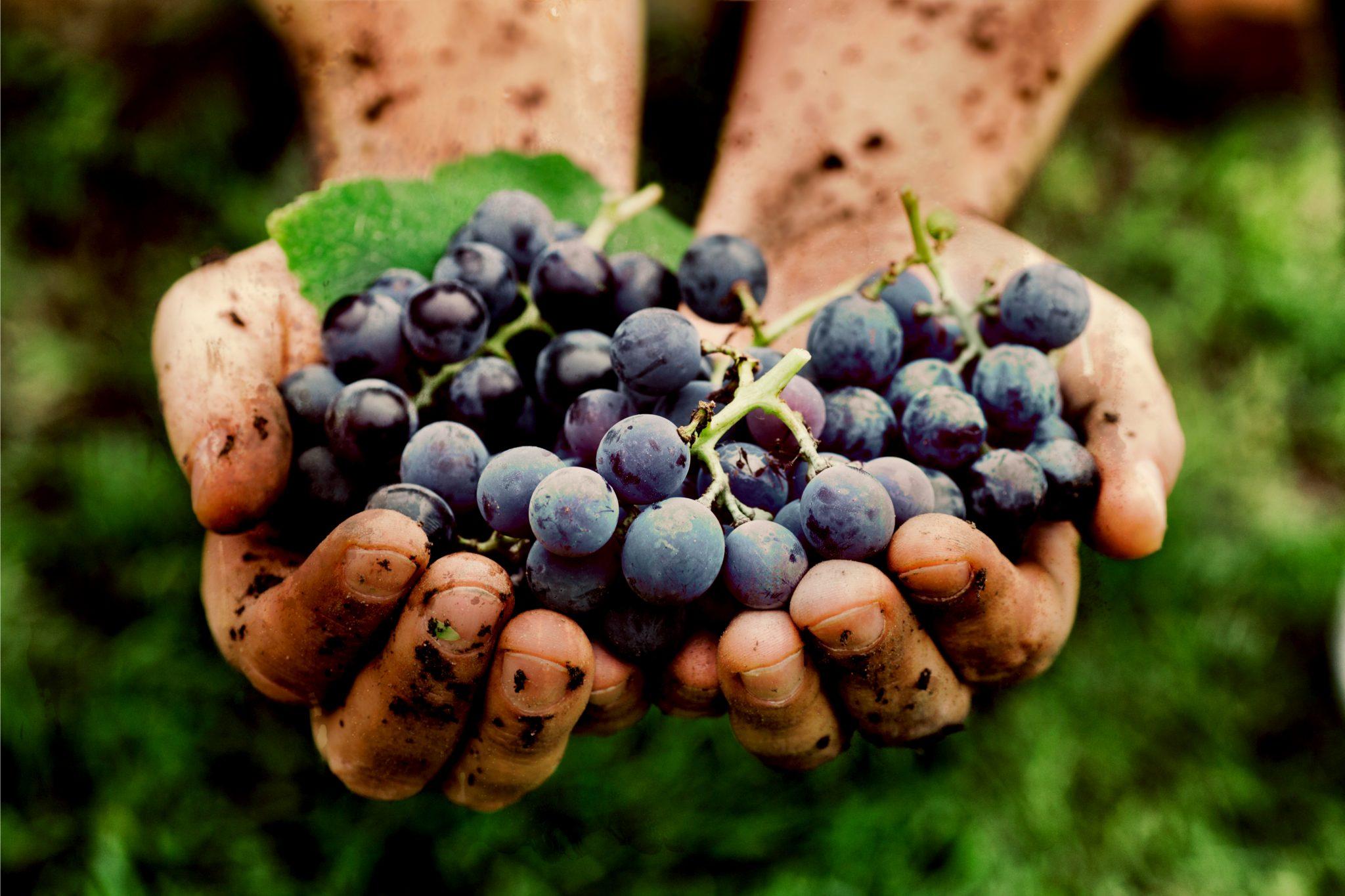 摘んだばかりのブドウ