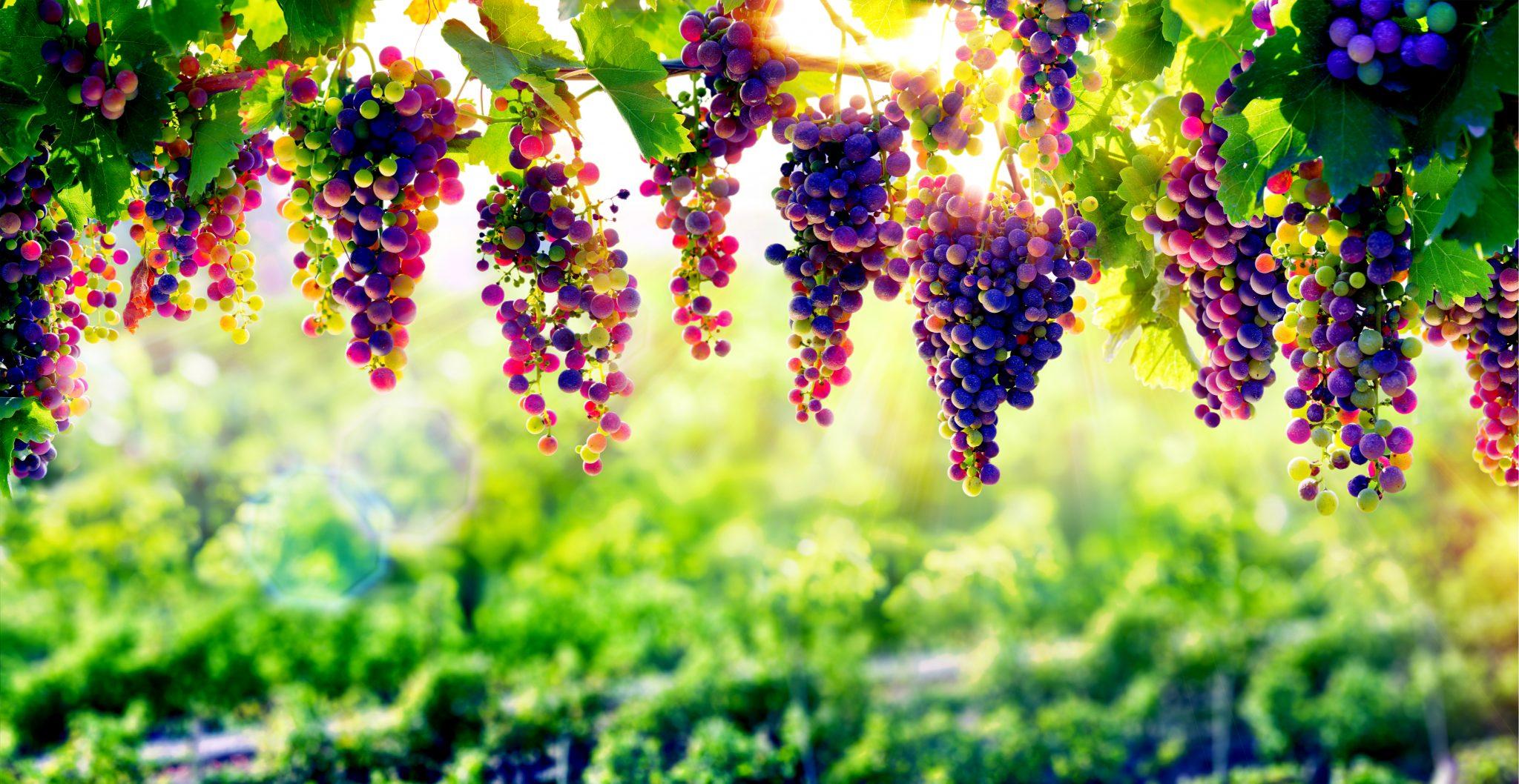 熟して食べごろなブドウ