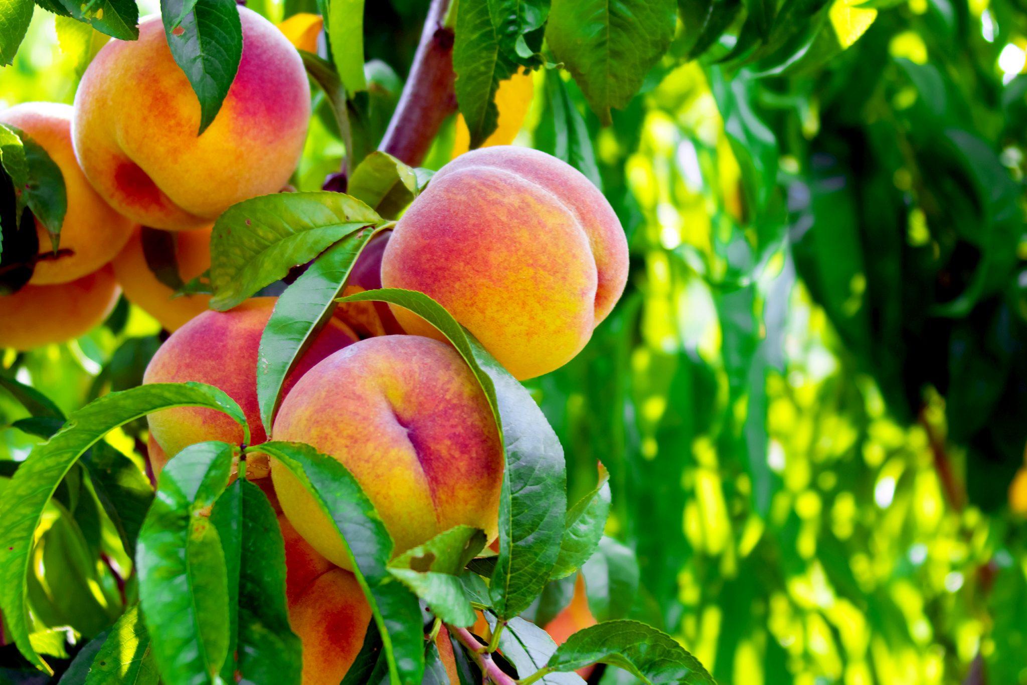 木に実ってる桃
