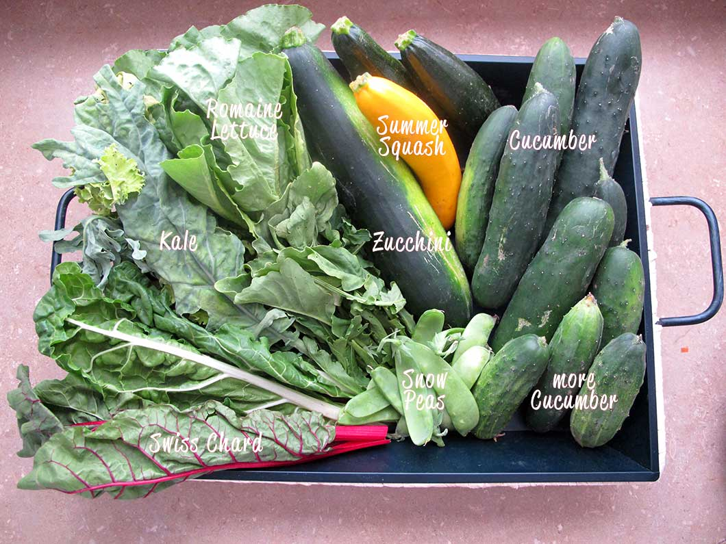 farmshare chronicles week 2 - romaine, chard, kale, arugula, zucchini, yellow squash, snow peas, & cucumbers