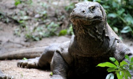 Coming face to face with a Komodo dragon