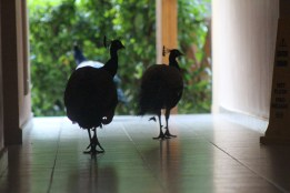 Peacock Family in Punta Cana, DR