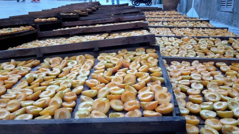 Apricots drying.
