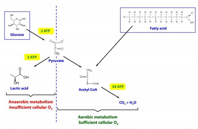 Image result for peter attia glucose