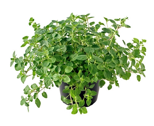 oregano-potted