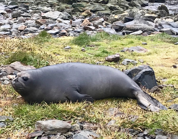 South Georgia: elephant seal baby