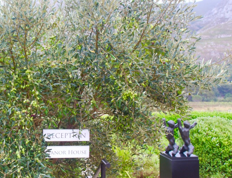 Stanford Valley: olive trees