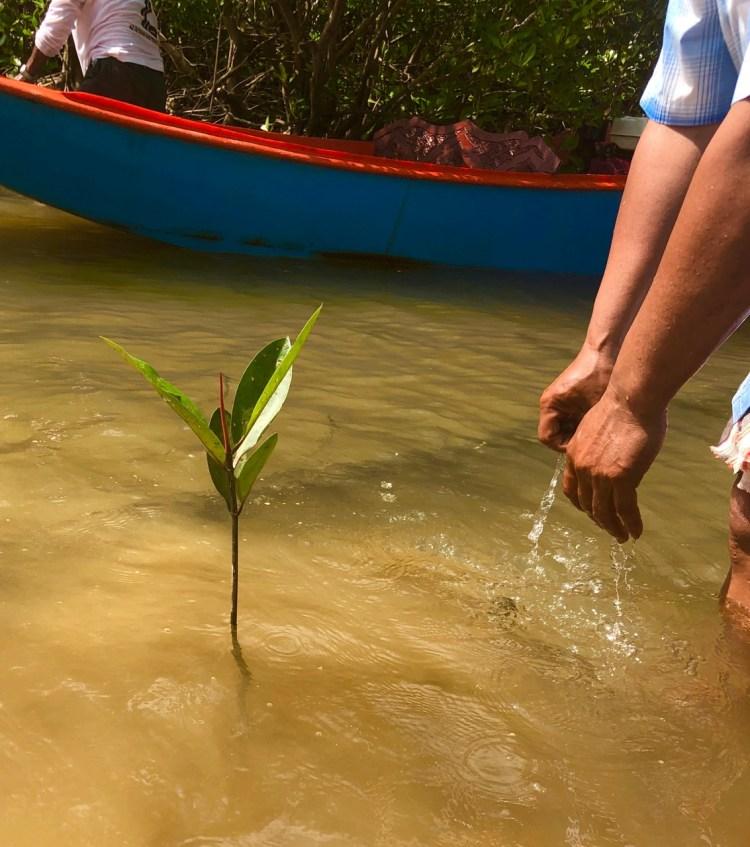 The Sarojin: mangrove