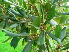 Laurel Nobilus plant photo