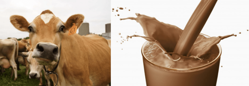 chocolate milk comes from brown cows