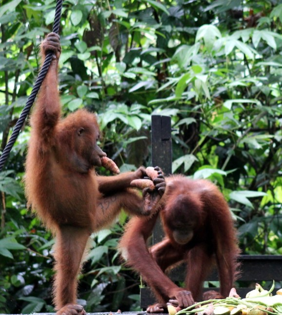 Orang Utans at feeding time at Sepilok Orang Utan Rehabilitation Centre - these are two orphans who are approximately 7 years old (they can live to 35).