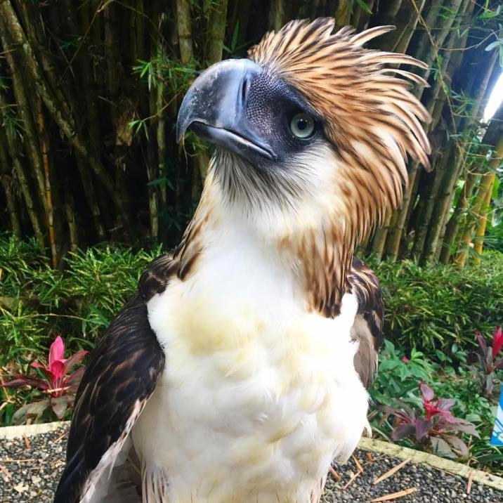 Filipino Eagle
