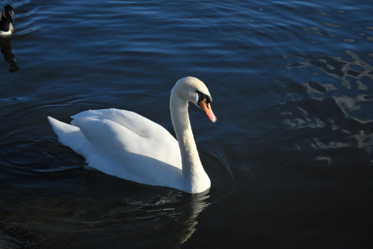 swan at the round pond