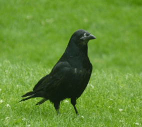 and Rooks are everywhere!