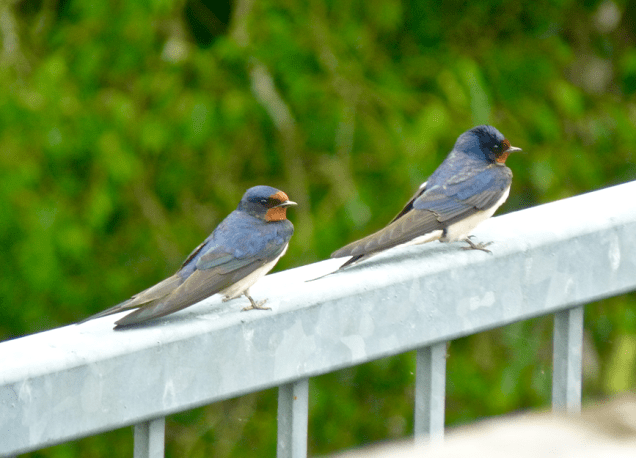 Barn Swallows on our railing.