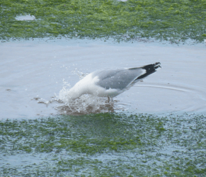 This Herring Gull was really trying hard to wash his face!
