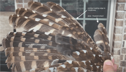 molt and feather anatomy