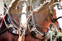 clydesdales-in-promo-video