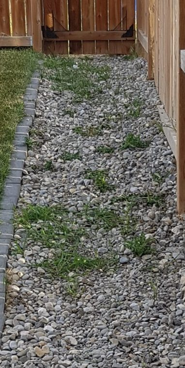 grass growing through rock mulch