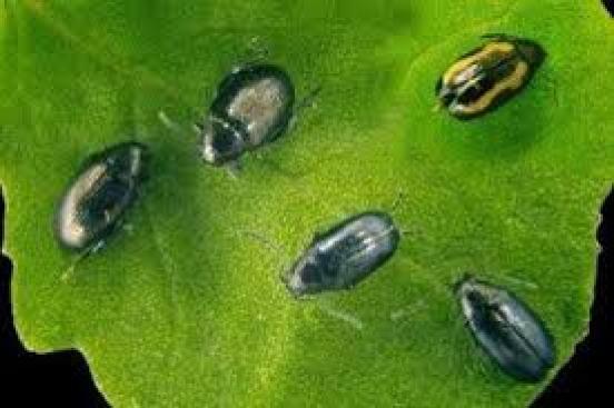 flea beetle garden pest sprays
