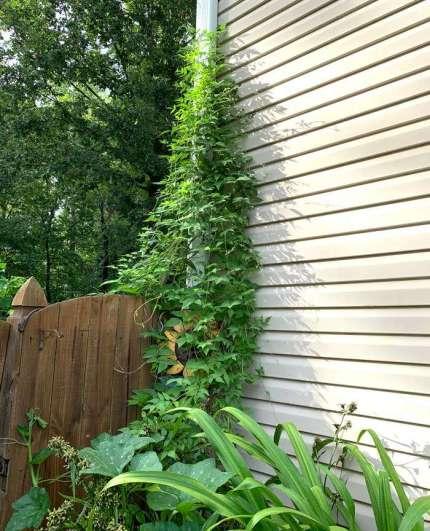 nitrogen fixing plants American groundnut