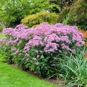 Joe pye weed insectary plants