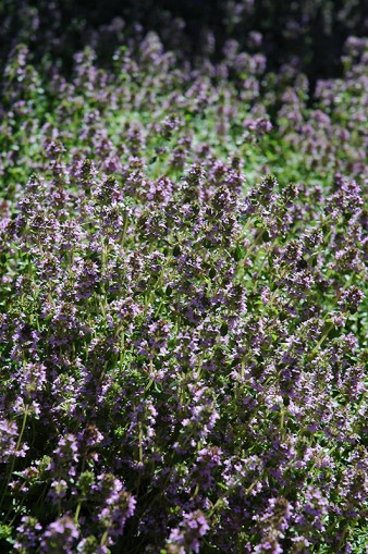Thyme insecticidal plants