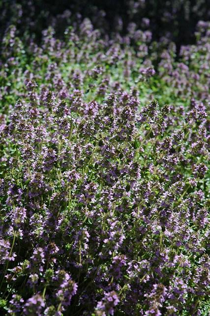 Thyme erosion control plants