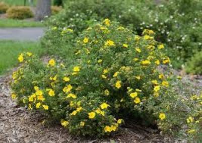 Potentilla drought tolerant plant