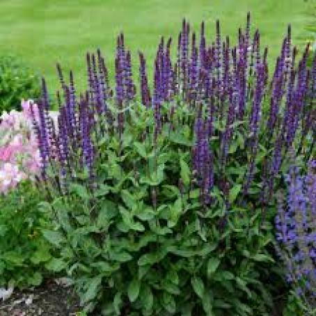 Salvia drought tolerant plant