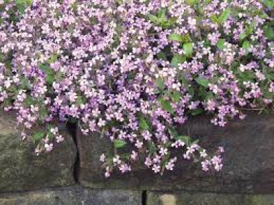 Soapwort ground cover plants