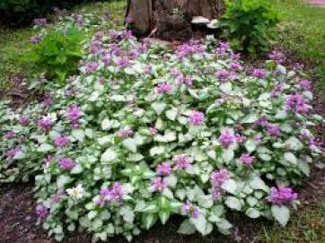 Lamium drought tolerant plants