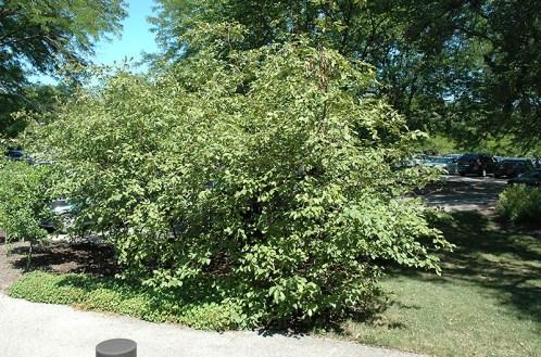 alder nitrogen fixing plants