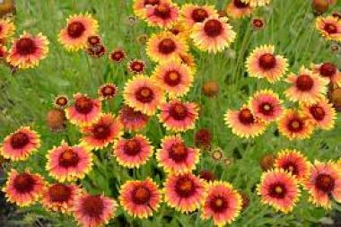 Blanket Flower drought tolerant plants