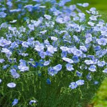 Blue flax drought tolerant plants