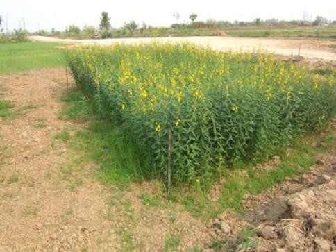 sun hemp nitrogen fixing plants