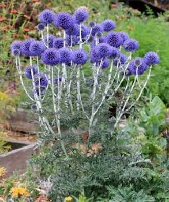 Globe thistle drought tolerant plants