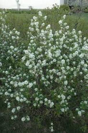 Saskatoon shade tolerant plant