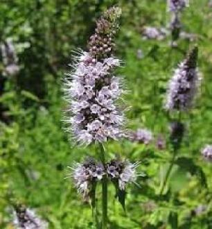 spearmint insecticidal plants