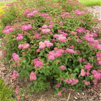 spirea low maintenance plants