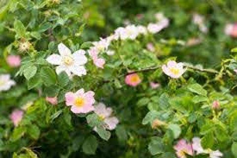 wild rose native organic landcare