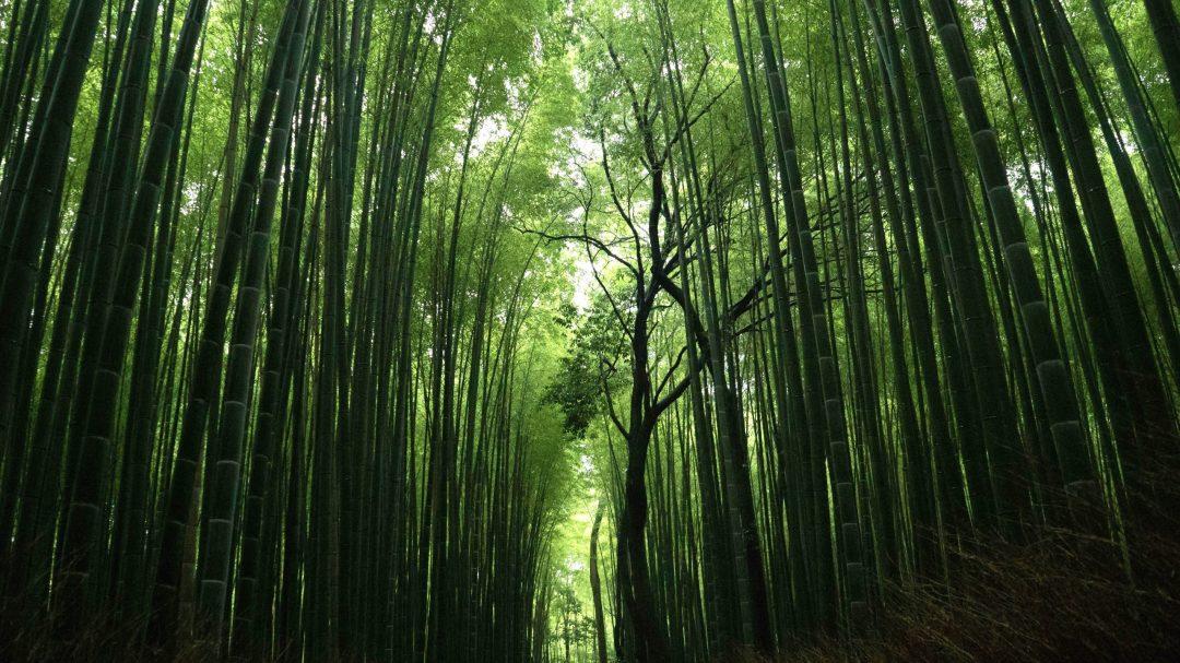 la bambouseraie d'Arashiyama à Kyoto