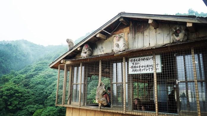 Les singes d'Arashiyama
